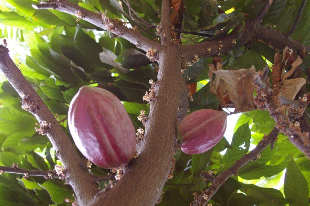 Día Internacional del Cacao